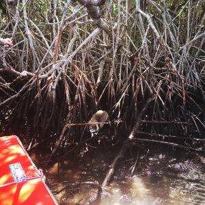 Everglades Mangroven Raccoon
