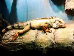 RT17: Wilmington (iguana)