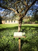 Cambridge_Botanical garden_Newton apple tree